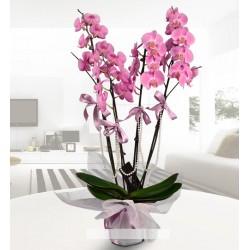 Dörtlü pembe orkide