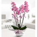 Dört dallı pembe orkide