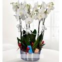 Beş dallı beyaz orkide