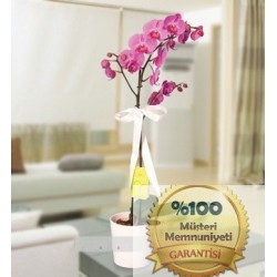Mor Orkide (Seramikte)